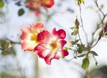 美丽的红色玫瑰色花在一晴朗的温暖的天 免版税库存照片