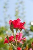 美丽的红色玫瑰花在庭院里。 图库摄影