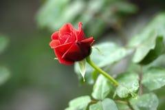 美丽的红色玫瑰花 免版税库存照片