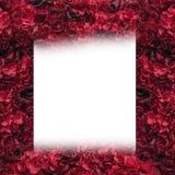 美丽的红色玫瑰 花墙壁 巨大的英国兰开斯特家族族徽特写镜头  安置文本 皇族释放例证