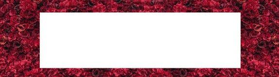 美丽的红色玫瑰 花墙壁 巨大的英国兰开斯特家族族徽特写镜头  安置文本 库存例证