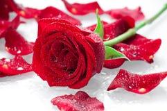 美丽的红色玫瑰 免版税库存图片