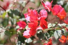 美丽的红色花园 图库摄影