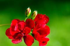 美丽的红色花在庭院里 免版税库存图片