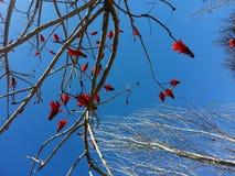美丽的红色花,作为背景的蓝天 图库摄影