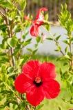 美丽的红色花以绿色 图库摄影
