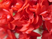 美丽的红色茜草科开花,特写镜头作为背景 免版税库存图片