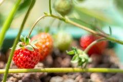 美丽的红色草莓在庭院里 库存图片
