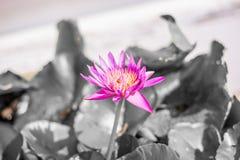美丽的红色莲花有黑&白色背景 免版税库存图片