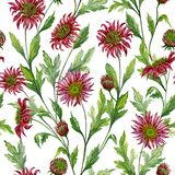 美丽的红色菊花开花与在白色背景的绿色叶子 无缝植物的模式 多孔黏土更正高绘画photoshop非常质量扫描水彩 皇族释放例证