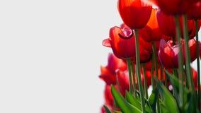 美丽的红色郁金香开花反对蓝天 影视素材