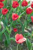 美丽的红色郁金香花在春天 免版税库存图片