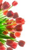 美丽的红色郁金香花束边界-有白色背景 图库摄影