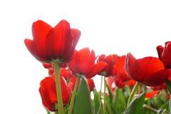 美丽的红色郁金香花的领域在白色背景的 免版税库存照片