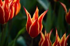美丽的红色郁金香 土耳其的标志 免版税库存图片