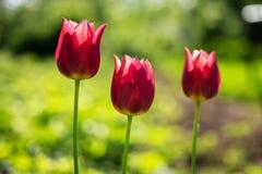 美丽的红色郁金香 在被弄脏的绿草背景的三红色郁金香 库存图片