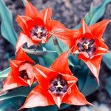 美丽的红色郁金香 免版税库存图片
