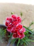 美丽的红色铅笔花 免版税库存图片