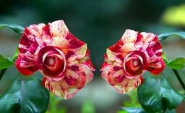 美丽的红色飞星玫瑰色花 免版税库存照片