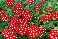 美丽的红色马鞭草属植物花在庭院里 免版税库存照片