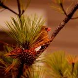 美丽的红色鸟坐分支 免版税库存图片
