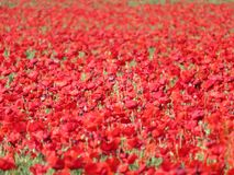 美丽的红色鸦片与谷物混合的有很多花 免版税图库摄影