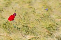 美丽的红色鸦片和一个蓝色苦苣生茯在一块绿色麦田在夏天 库存图片