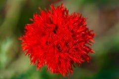 美丽的红色鸦片在乡下领域开花,在夏天se 免版税库存照片
