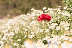 美丽的红色鸦片是被弄脏的白花的中心 免版税图库摄影