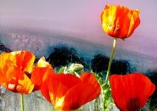 美丽的红色鸦片的特写镜头在五颜六色的背景的 库存照片
