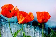 美丽的红色鸦片的特写镜头在五颜六色的背景的 图库摄影