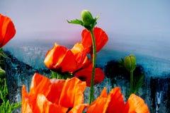 美丽的红色鸦片的特写镜头在五颜六色的背景的 免版税库存照片
