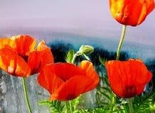 美丽的红色鸦片的特写镜头在呈杂色的五颜六色的背景的 免版税库存图片