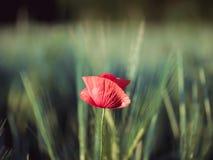 美丽的红色鸦片花的图象有模糊的背景 图库摄影