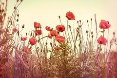 美丽的红色鸦片花 库存图片