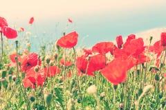 美丽的红色鸦片花 免版税库存图片