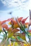 美丽的红色黄花菜在庭院里开花开花 库存图片