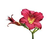 美丽的红色黄花菜花在庭院里 免版税库存照片