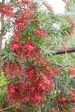 美丽的红色洗瓶刷Callistemon树花 免版税图库摄影