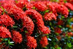 美丽的红色ixora花园在夏天 免版税库存图片