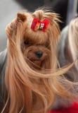 美丽的约克夏狗画象 库存照片