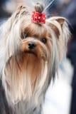 年轻美丽的约克夏狗画象 库存图片