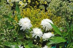 美丽的纯净的白色chrysanths -经济花植物 库存照片