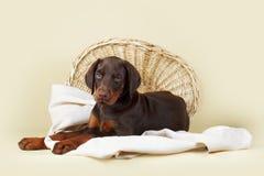 美丽的纯血统棕色短毛猎犬小狗在灰棕色后面说谎 库存图片