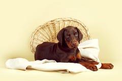 美丽的纯血统棕色短毛猎犬小狗在灰棕色后面说谎 免版税库存图片