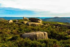 美丽的绵羊生动了描述俯视美丽的上部Derwent谷,高峰区国家公园 图库摄影
