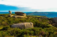 美丽的绵羊生动了描述俯视美丽的上部Derwent谷,高峰区国家公园 免版税库存图片