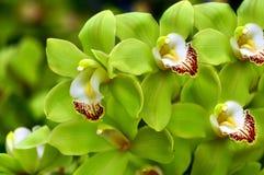 美丽的绿色兰花 免版税库存照片
