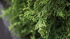 美丽的绿色具球果植物盆在有黑木制框架的黑暗的罐 股票录像