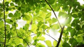 美丽的绿色叶子和明亮的太阳 股票视频